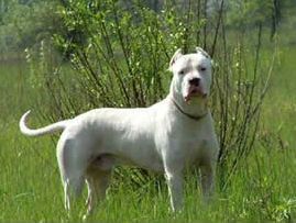 Dogo Argentino - Hog Catch Dog